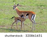 Grants Gazelle And Her Calf...