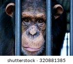 Chimpanzee Face  Monkey Face...