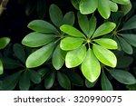 Dwarf Umbrella Tree's Leaves ...