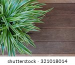 Spider Plant With Green   Whit...