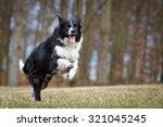 A Purebred Border Collie Dog...