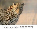 Leopard Female Close Up Lookin...
