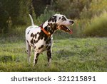 Stock photo dalmatian dog walking on the street in the summer 321215891