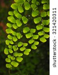 Small photo of beautiful of green twig Adiantum fern,close up