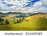 Camp Cows Grazing In Carpathians