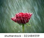 Red Rose Into The Rain. Shallo...