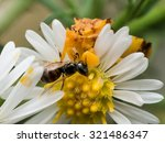 Yellow Ambush Bug Eats Wasp On...