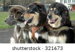 Small photo of The Friendly three-tuple. Tibetan mastiff.