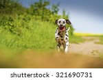 Small photo of infirm and tired dalmatian dog running in summer nature with sky