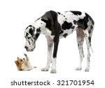 Stock photo great dane looking at a chihuahua in front of a white background 321701954