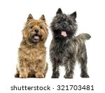 Stock photo cairn terriers in front of white background 321703481