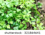 parsley growing in garden | Shutterstock . vector #321864641