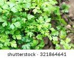 parsley growing in garden | Shutterstock . vector #321864641