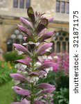 Small photo of Single spike of bears breeches (Acanthus mollis) flower in an ornamental garden.