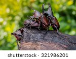 Four Rhinoceros Beetles On A...
