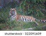 tiger | Shutterstock . vector #322091609
