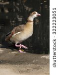 Small photo of Egyptian Goose, Alopochen aegyptiacus, near water