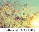 Dewy Dandelion Flower At Sunse...
