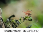 Copera Marginepes Dragonfly...