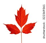 Small photo of Red acer negundo leaf. Isolated on white background.