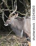 nyala male buck standing in the ...   Shutterstock . vector #32243803