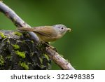 Small photo of The grey-cheeked fulvetta (Alcippe morrisonia) is a species of bird in the Pellorneidae family.