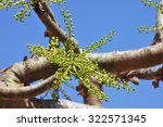 Boswellia Tree   Frankincense ...
