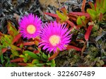 Sea Fig Or Ice Plant Flowers...