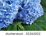 Beautiful blue hydrangea blossoms with leaves.  Macro with shallow dof. - stock photo