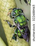 Small photo of bee Euglossa sp - Green Bee close up - Agapostemon sp. macro photo