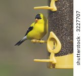 American Goldfinch Perched On A ...