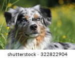 australian shepherd | Shutterstock . vector #322822904