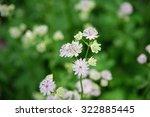 Small photo of Lace Flower/Ammi majus
