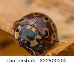 Dark Red Ladybug With Black An...