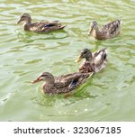 Ducks Swim In A Pond Background