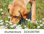 dog sniffing chamomiles flowers ... | Shutterstock . vector #323100785