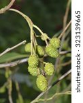 Small photo of Grey Alder Cones - Alnus incana
