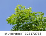 green indian cork leaves in... | Shutterstock . vector #323172785