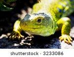 Close Up Of Green Lizard Lying...
