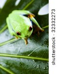 red eye frog | Shutterstock . vector #32332273