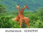 Fight Of Two Giraffes. Africa....