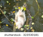 Dying Fish In Pond
