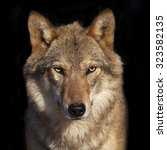 Small photo of Eye to eye portrait with grey wolf female on black background. Square image. Beautiful and dangerous beast of the forest.