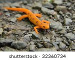 Red Spotted Newt  Red Eft