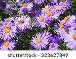 Aster   Violet Asters Blooming...