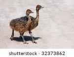 Two Young Ostrich Bird Running