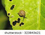 Lonely Snail On Green Leaf Wit...