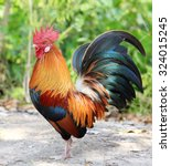 Colorful Rooster On Green...