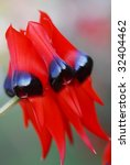 Small photo of an isolated shot of Red Black Clianthus desert pea Flower
