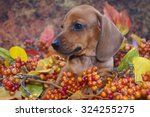 Autumn Dachshund Puppy In A...